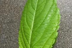 Springkraut-1-blatt-IMG_5528
